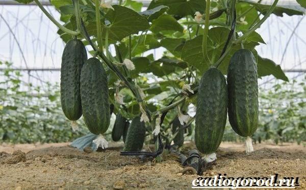 Выращивание-рассады-огурцов-в-домашних-условиях-17