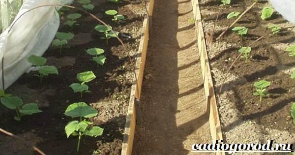 Выращивание-рассады-огурцов-в-домашних-условиях-8