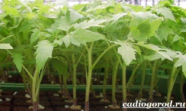 Выращивание-рассады-томатов-в-домашних-условиях-15