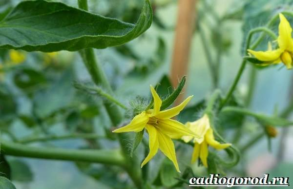 Выращивание-рассады-томатов-в-домашних-условиях-19