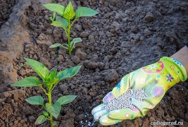 Выращивание-сладкого-перца-Как-и-когда-сажать-сладкий-перец-Уход-за-перцем-23