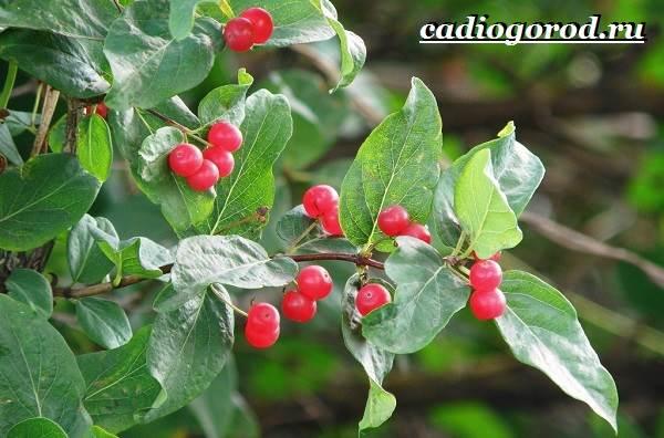 Жимолость-кустарник-Выращивание-жимолости-Уход-за-жимолостью-7