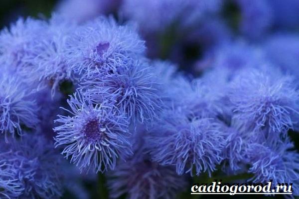 Агератум-цветок-Описание-особенности-виды-и-уход-за-агератумом-4