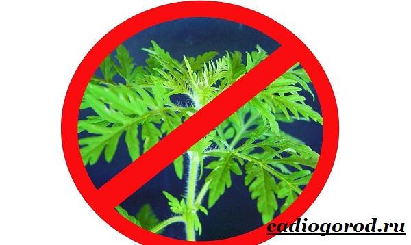 Амброзия-растение-Описание-особенности-вред-и-борьба-с-амброзией-7