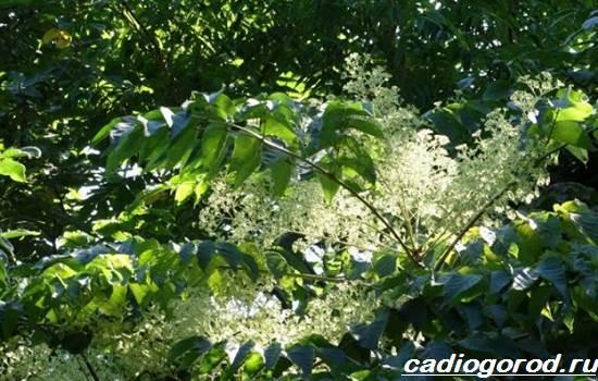 Аралия-растение-Описание-свойства-виды-и-уход-за-аралией-3