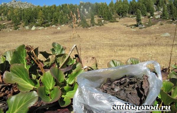 Бадан-растение-Описание-особенности-виды-и-уход-за-баданом-3
