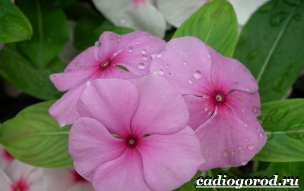 Барвинок-цветок-Описание-особенности-виды-и-уход-за-барвинком-12