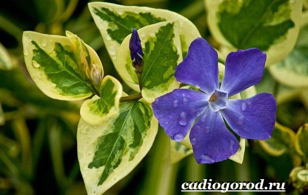 Барвинок-цветок-Описание-особенности-виды-и-уход-за-барвинком-13