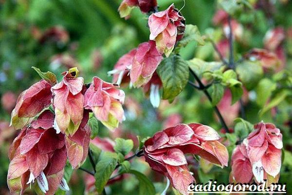 Белопероне цветок. Описание, особенности, виды и уход за белопероне-17