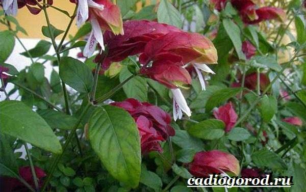 Белопероне цветок. Описание, особенности, виды и уход за белопероне-3