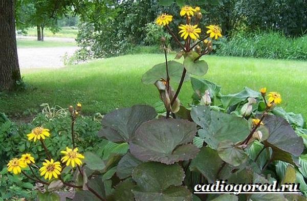 Бузульник-растение-Описание-особенности-виды-и-уход-за-бузульником-4