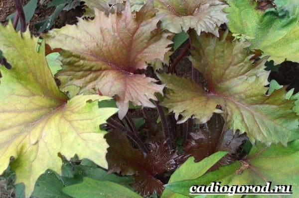 Бузульник-растение-Описание-особенности-виды-и-уход-за-бузульником-8