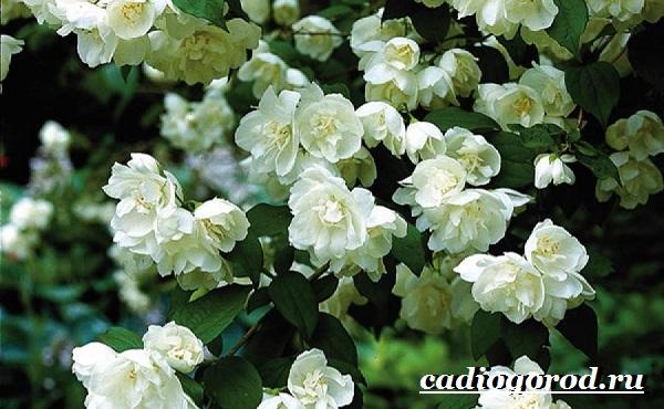 Чубушник-цветок-Описание-особенности-виды-и-уход-за-чубушником-4