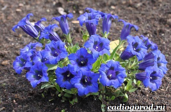 Энотера-цветок-Описание-особенности-виды-и-уход-за-энотерой-14