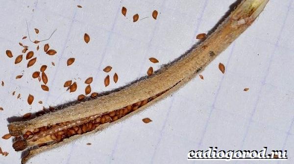 Энотера-цветок-Описание-особенности-виды-и-уход-за-энотерой-22