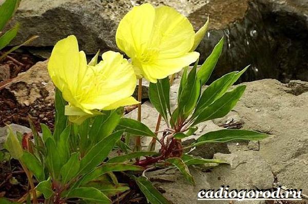 Энотера-цветок-Описание-особенности-виды-и-уход-за-энотерой-24