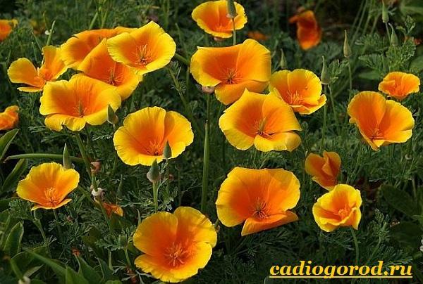 Эшшольция-цветы-Выращивание-эшшольции-Посадка-и-уход-за-эшшольцией-1