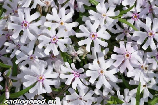 Флоксы-цветы-Выращивание-флоксов-Уход-за-флоксами-2