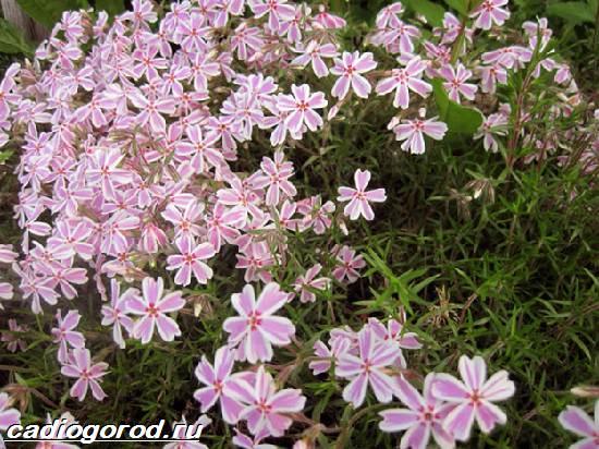 Флоксы-цветы-Выращивание-флоксов-Уход-за-флоксами-4