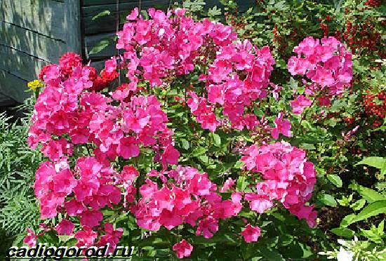 Флоксы-цветы-Выращивание-флоксов-Уход-за-флоксами-5