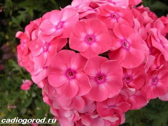 Флоксы-цветы-Выращивание-флоксов-Уход-за-флоксами-7