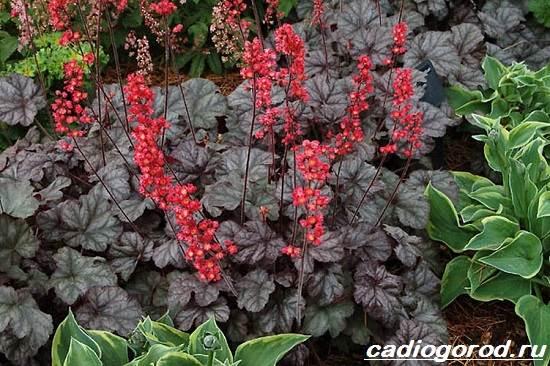 Гейхера-растение-Выращивание-гейхеры-Уход-за-гейхерой-1