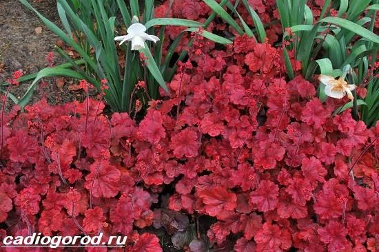 Гейхера-растение-Выращивание-гейхеры-Уход-за-гейхерой-2