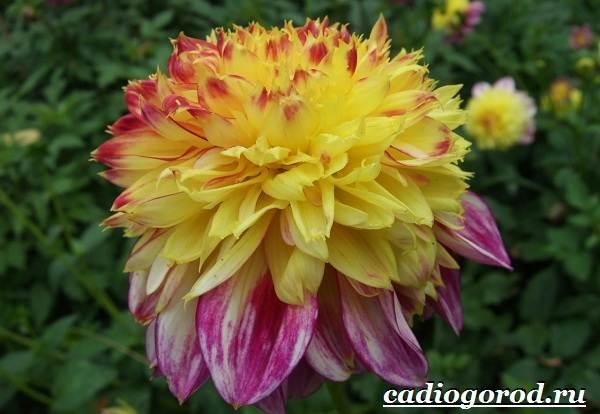 Георгины-цветы-Описание-особенности-виды-цена-и-уход-георгинами-40