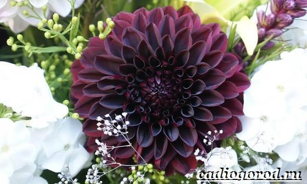 Георгины-цветы-Описание-особенности-виды-цена-и-уход-георгинами-50