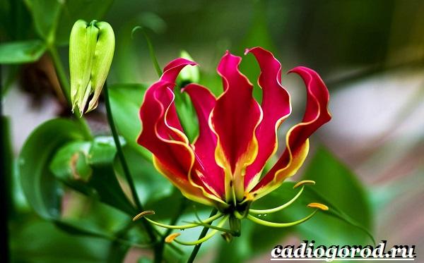 Глориоза-цветок-Описание-особенности-виды-и-уход-за-глориозой-5