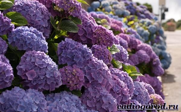 Гортензия-цветок-Выращивание-гортензии-Уход-за-гортензией-11