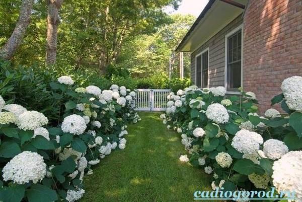 Гортензия-цветок-Выращивание-гортензии-Уход-за-гортензией-13