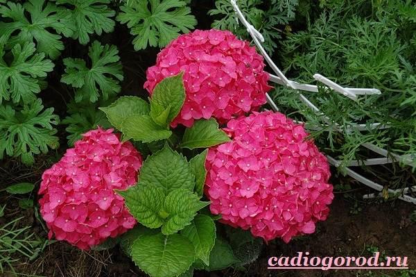 Гортензия-цветок-Выращивание-гортензии-Уход-за-гортензией-15