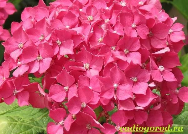 Гортензия-цветок-Выращивание-гортензии-Уход-за-гортензией-21