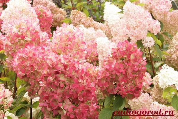 Гортензия-цветок-Выращивание-гортензии-Уход-за-гортензией-7