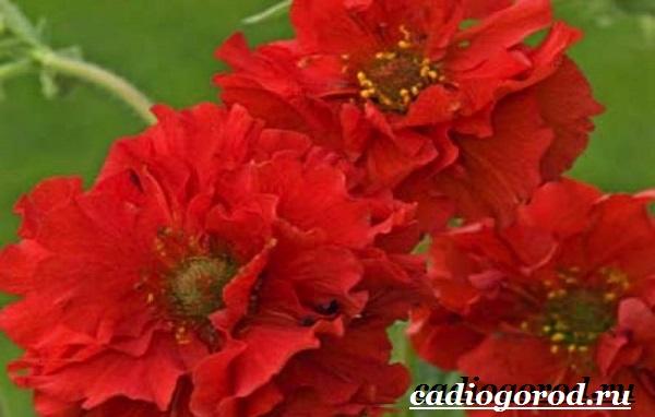 Гравилат-цветок-Описание-особенности-виды-и-уход-за-гравилатом-7