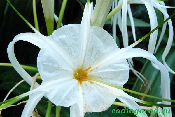 Исмена-цветок-Описание-особенности-виды-и-уход-за-исменой-5