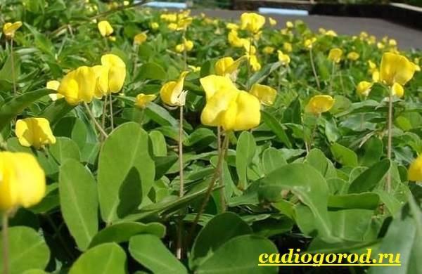 Как-вырастить-арахис-Посадка-арахиса-Уход-за-арахисом-4