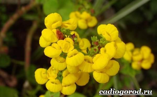 Кальцеолярия-цветок-Выращивание-кальцеолярии-Уход-за-кольцеолярией-24