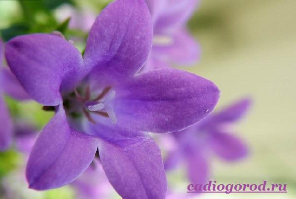 Кампанула-цветок-Описание-особенности-виды-и-уход-за-кампанулой-14
