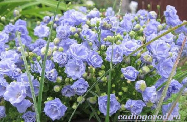 Кампанула-цветок-Описание-особенности-виды-и-уход-за-кампанулой-2