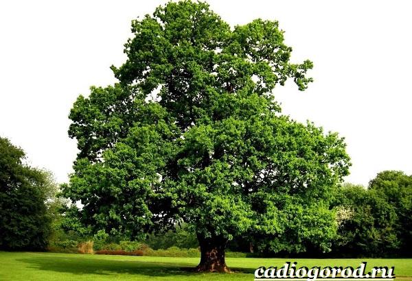 дерево карагач описание и фото