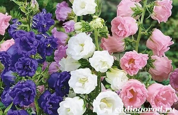 Цветок с розовыми колокольчиками