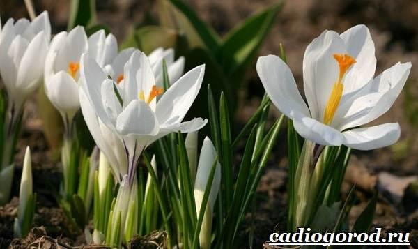 Крокус-цветок-Выращивание-крокуса-Уход-за-крокусом-4