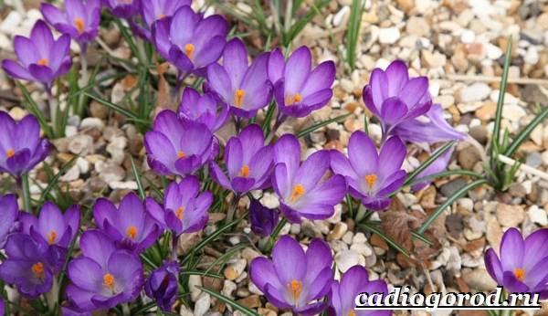 Крокус-цветок-Выращивание-крокуса-Уход-за-крокусом-7-1