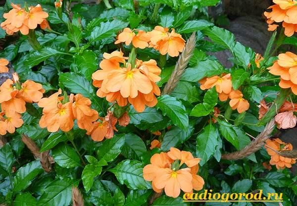 Кроссандра-цветок-Выращивание-кроссандры-Уход-за-кроссандрой-1