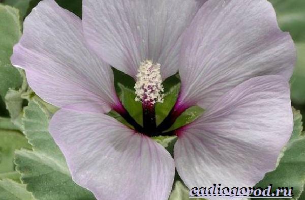 Лаватера-цветы-Описание-особенности-виды-и-уход-за-лаватерой-19