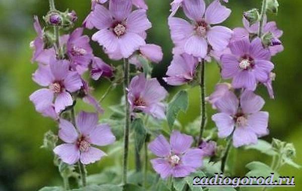 Лаватера-цветы-Описание-особенности-виды-и-уход-за-лаватерой-6