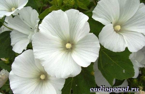 Лаватера-цветы-Описание-особенности-виды-и-уход-за-лаватерой-9