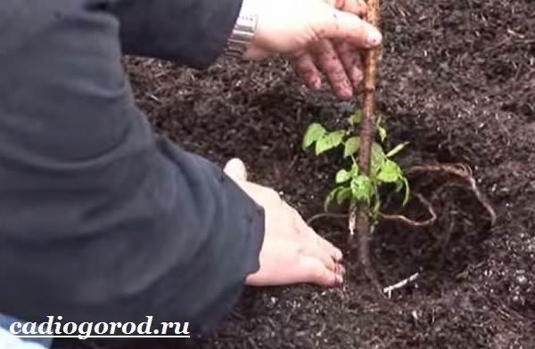 Малина-ягода-Выращивание-малины-Уход-за-малиной-13